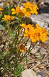 Siberian Wallflower (Cheiranthus allionii)